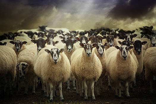 Sheepfest by Audran Gosling