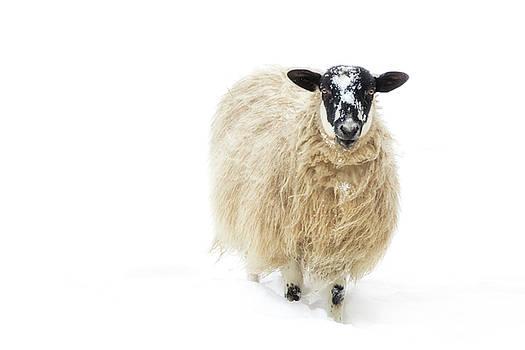 Sheeps by Scott Masterton