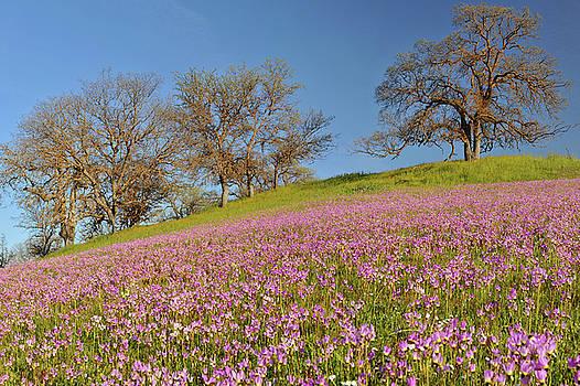 Shell Creek Shooting Stars Wildflowers by Dean Hueber