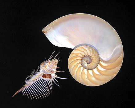 Shell Duo by Kelly S Andrews