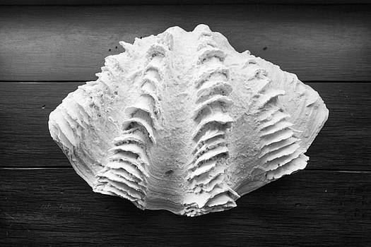 Shell in Still Life by Kip Krause