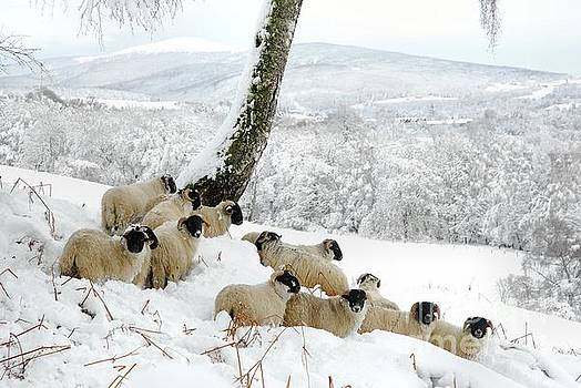 Sheltering Flock by John Kelly