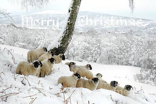 Sheltering Flock - Merry Christmas by John Kelly
