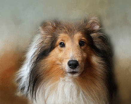 Sheltie Portrait by TnBackroadsPhotos