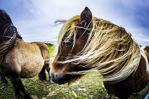 Shetland Pony by Michael Schofield