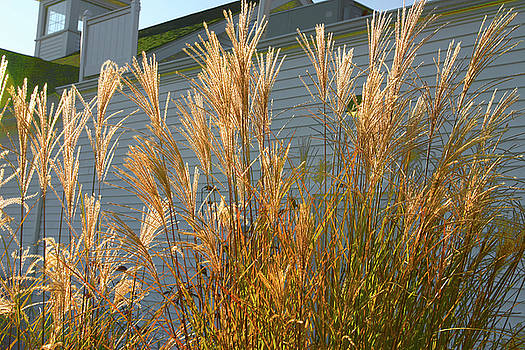 Shimmering Grasses by Nabila Khanam
