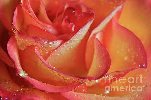 Shimmering Rose by Tracy Hall