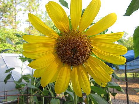 Shine Sunflower Shine by David Sutter
