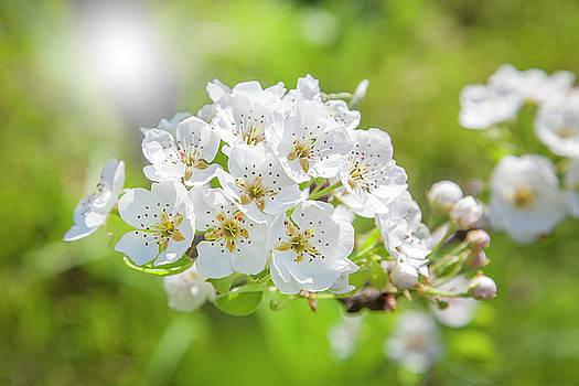 Shinny Pear Flowers by Matjaz Preseren