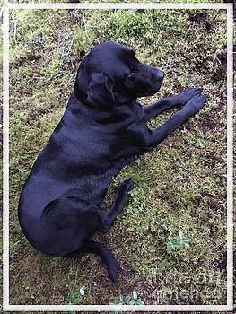 Shiny Black Lab by Barbara Griffin