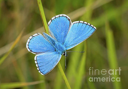 Shocking Blue Butterfly by Paul Farnfield