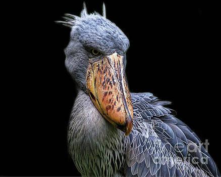 Shoe-billed Stork portrait by TN Fairey