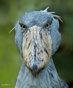 Shoe-billed Stork by Tim Fitzharris