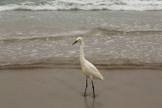 Shoreline Egret by John Daly