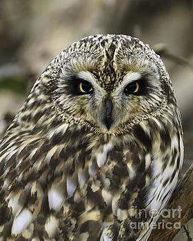 Short-eared Owl 2 by Tim Hauf
