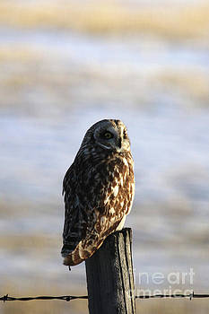 Short Eared Owl by Alyce Taylor