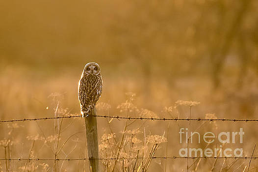 Short-eared Owl at sunset by Paul Farnfield