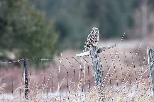 Gary Hall - Short-eared Owl