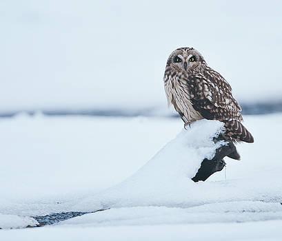 Short Eared Owl by Ian Harland