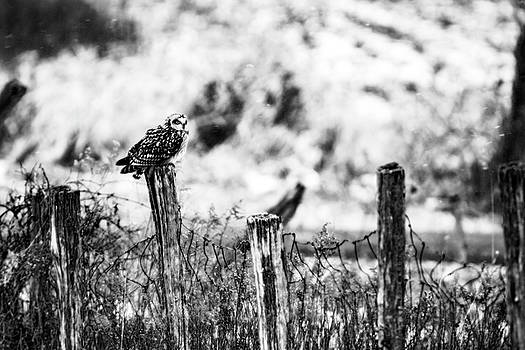 Short Eared Owl on the Lookout by Tracy Winter