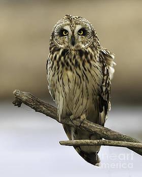Short-eared Owl by Tim Hauf