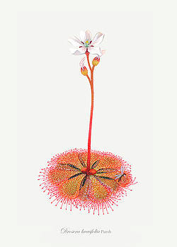 Shortleaf Sundew by Scott Bennett