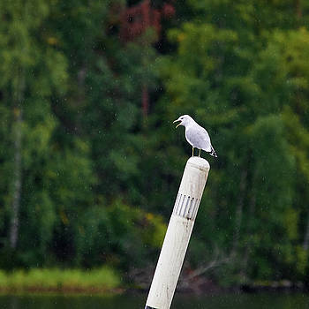 Shouting in  the rain. Common gull by Jouko Lehto