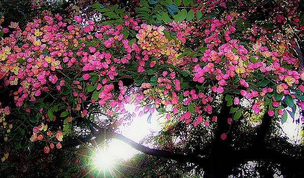 Shower Tree Flowers and Hawaii Sunset by D Davila