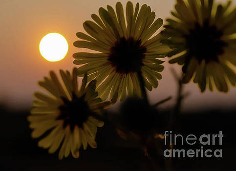 Showy Tarweed 2 by Mellissa Ray