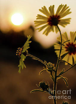 Showy Tarweed 4 by Mellissa Ray