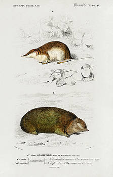 Shrew and Golden mole by Charles Dessalines D' Orbigny