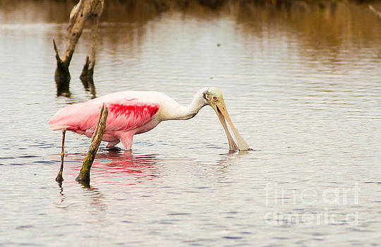 Shrimpin' Roseate Spoonbill by Natural Focal Point Photography