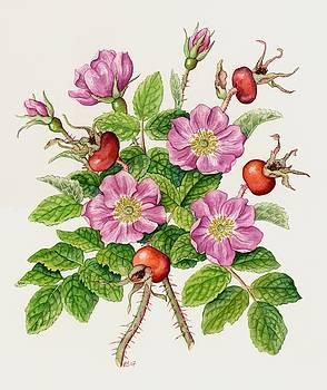 Shrub rose, Rosa rugosa by Lynne Henderson
