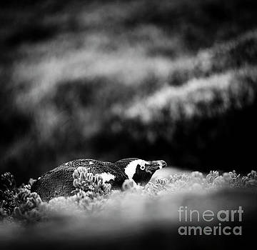 Tim Hester - Shy African Penguin Black and White