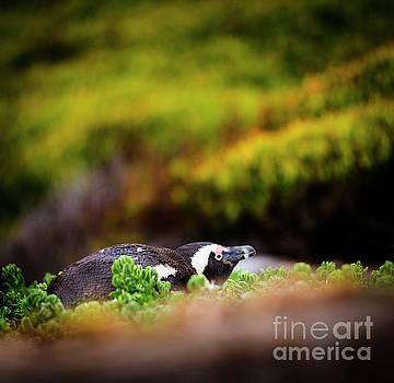Tim Hester - Shy African Penguin