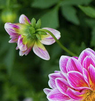 Shy Dahlia by Sharon Wilkinson