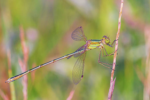 Shy emerald damselfly - Lestes barbarus by Jivko Nakev
