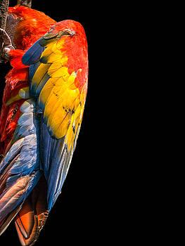 Shy Macaw by Rob Amend