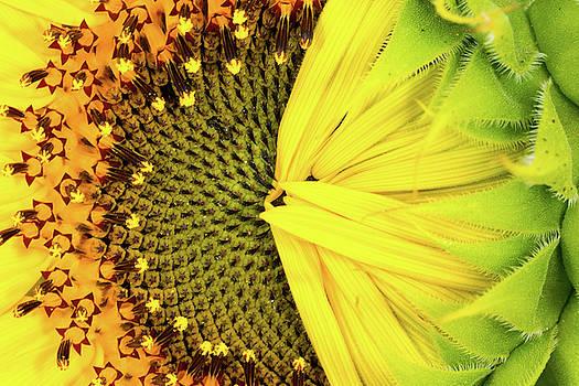 Shy Sunflower by SR Green