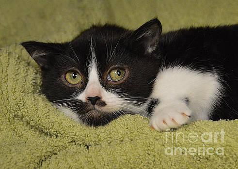 Shy Tuxedo Kitten by Catherine Sherman