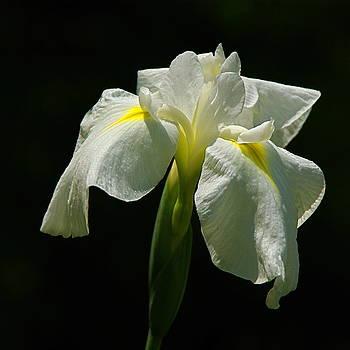 Byron Varvarigos - Siberian Iris