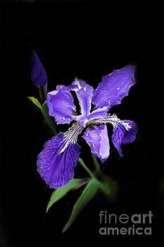 Siberian Iris by Marilyn Carlyle Greiner