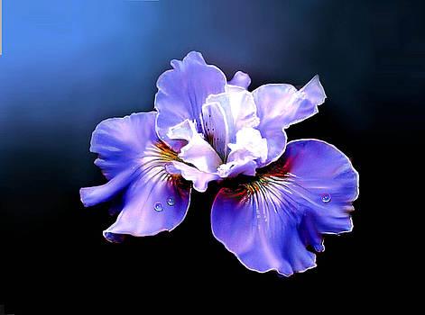 Siberian Iris by Robert Foster