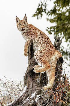 Siberian Lynx Kitten by Wes and Dotty Weber