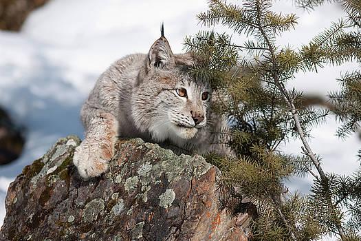 Siberian Lynx by Susan Wilson