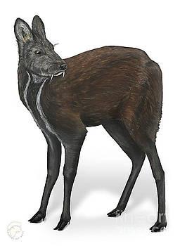 Siberian Musk Deer Moschus moschiferus - Chevrotain Porte-musc - Ciervo Almizclero - Moschustier by Urft Valley Art