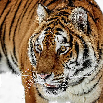 Siberian Tiger Closeup by Wes and Dotty Weber