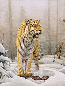 Siberian Tiger in snow. by Eric Wilson