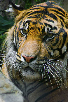 Siberian Tiger Portrait by Kimberly Blom-Roemer