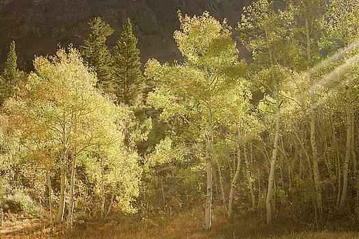 Side-lit Aspens - Autumn in Eastern Sierra California by Ram Vasudev